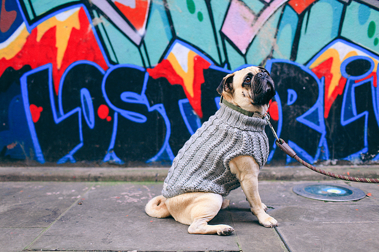 portrait pet dog pug photo shoot notting hill London max bone (1)