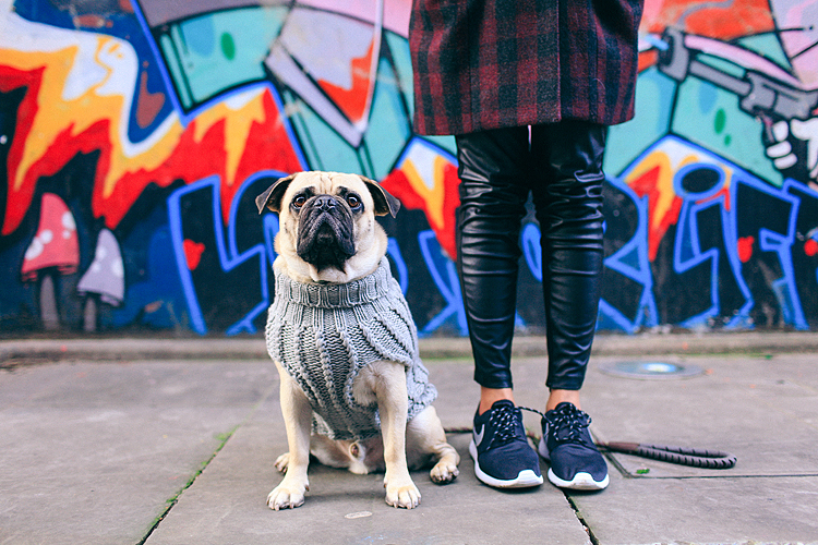 portrait pet dog pug photo shoot notting hill London max bone (2)